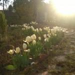 De tulpen van Fluwel floreren ook in het zuiden van Frankrijk!